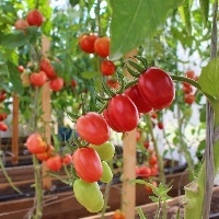 Realizado maior estudo da genética do tomate