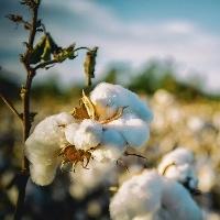 MT deve colher 7,4% a mais de algodão