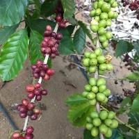 Clima favorece colheita do café robusta