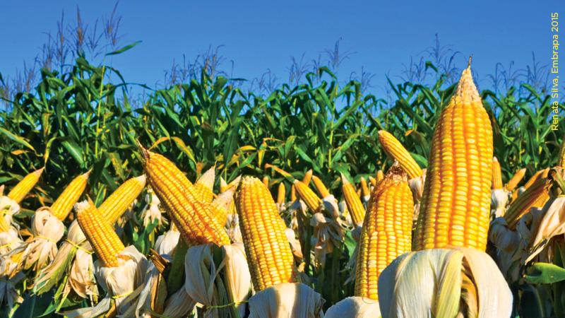 Segunda safra de milho 2020 no Paraná é a melhor da história na relação custo de produção x preço de venda