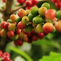 Tecnologia evita perdas de nitrogênio no cafeeiro