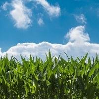 Custo total de produção de milho é de R$5.034,58 por hectare