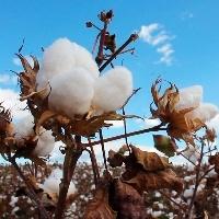 Exportações brasileiras de algodão devem crescer 100%