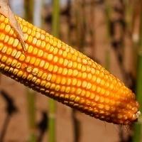 Clima favorece milho segunda safra