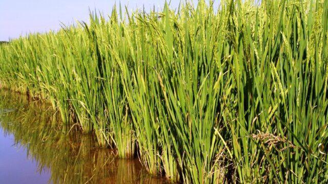 Barragens operando com baixa capacidade preocupam arrozeiros