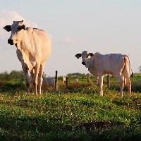 Cotações firmes e em alta no mercado de animais para reposição