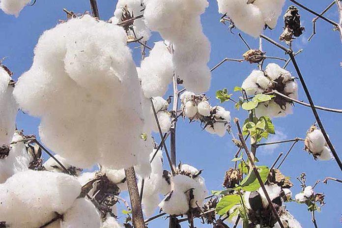 Exportações favorecem produtores de algodão em Minas
