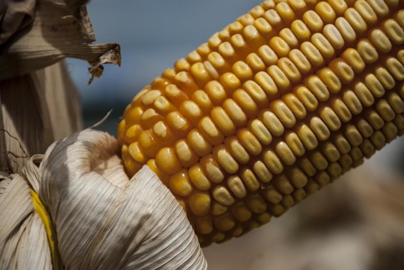 Milho tem demanda aquecida por indústria de carnes, etanol e exportações