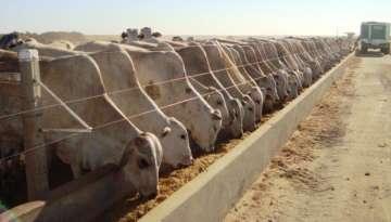 SP e GO registra aumento dos custos de produção de bovinos confinados