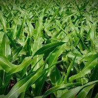 Entenda como funciona a janela de plantio do milho safrinha